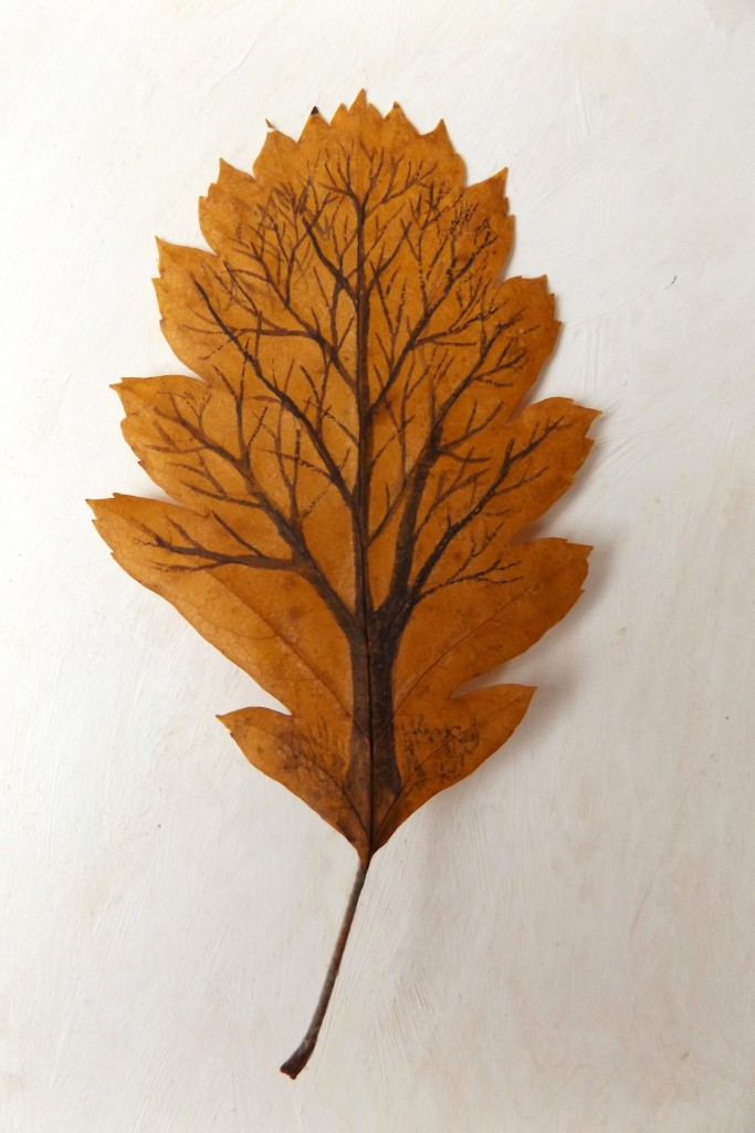 Swedish whitebeam tree-leaf pressed