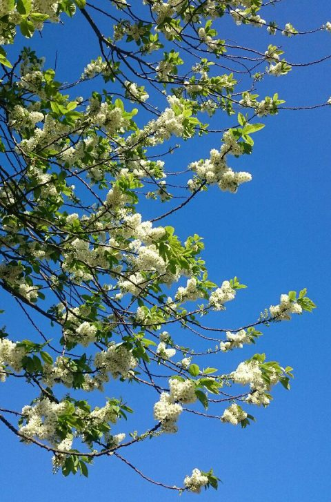 Blossom 9 May 2016 (1)