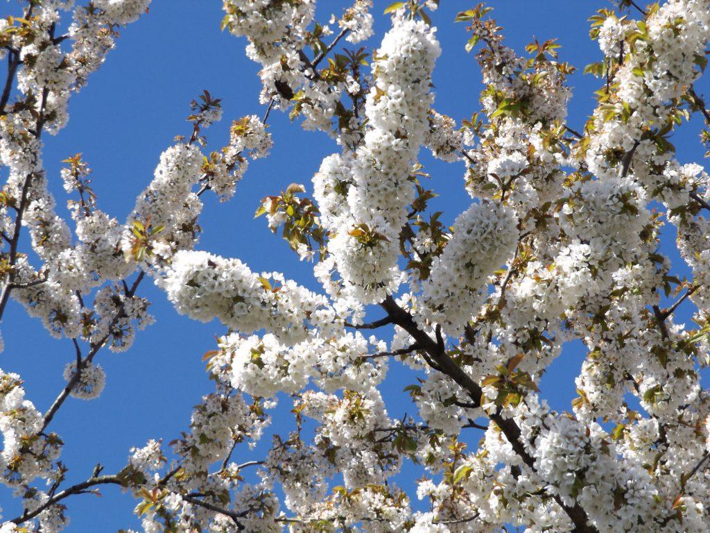 Blossom 30 April 2016 012a