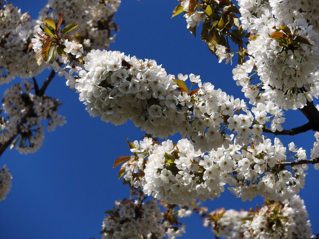 Blossom 30 April 2016 013a
