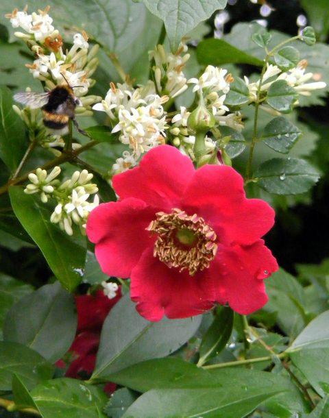 rosa moyesii geranium 23 june 2016 s5700 026