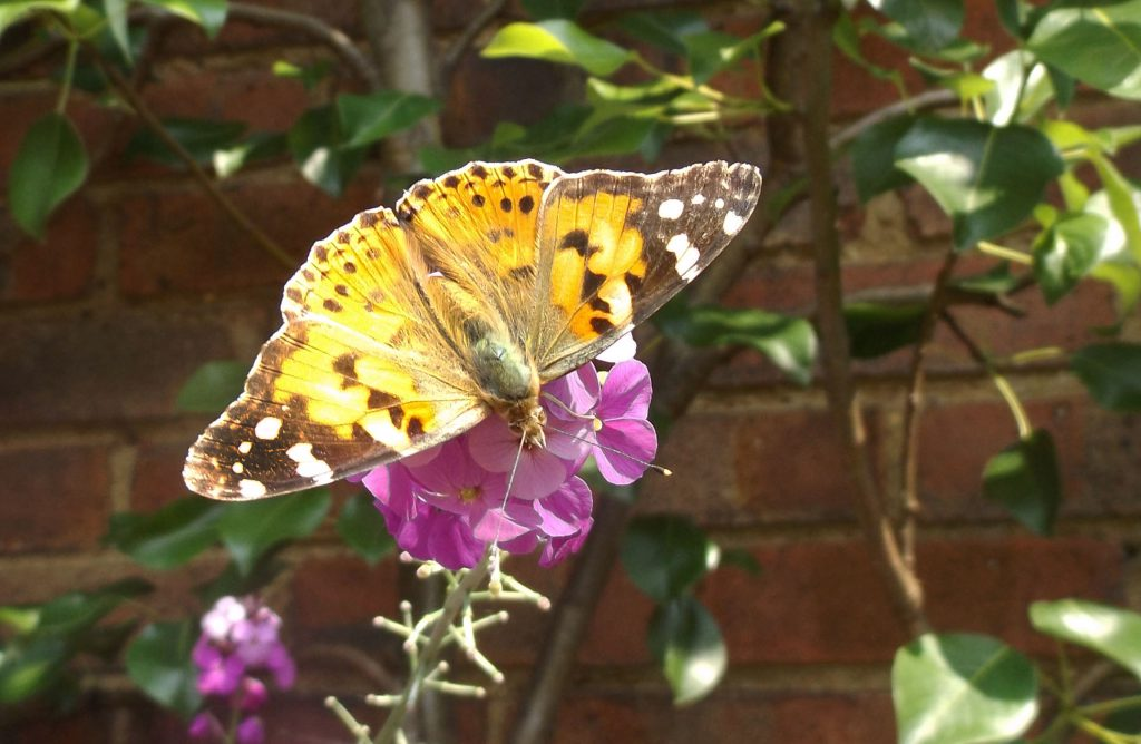 painted lady 5 june 2016 039