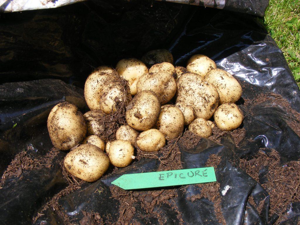 potatoes 9 june 2016 s5700 051