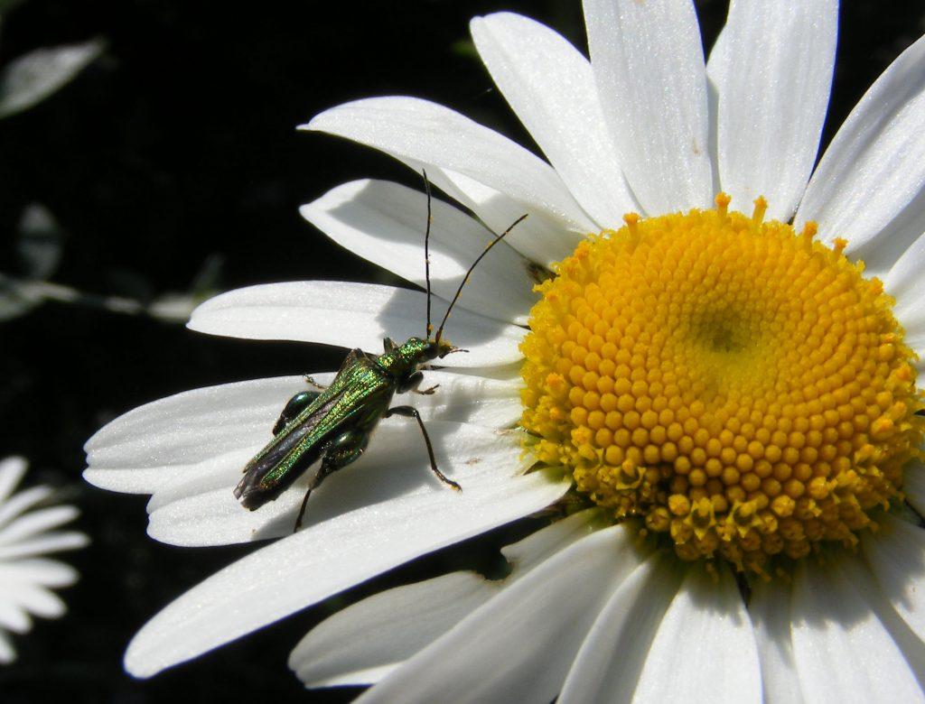 beetle on oxeye 9 june 2016 s5700 034crop