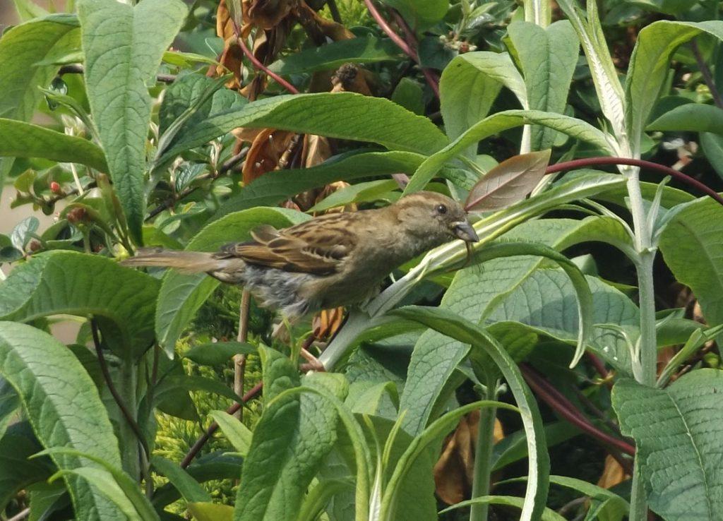 sparrow 5 june 2016 003