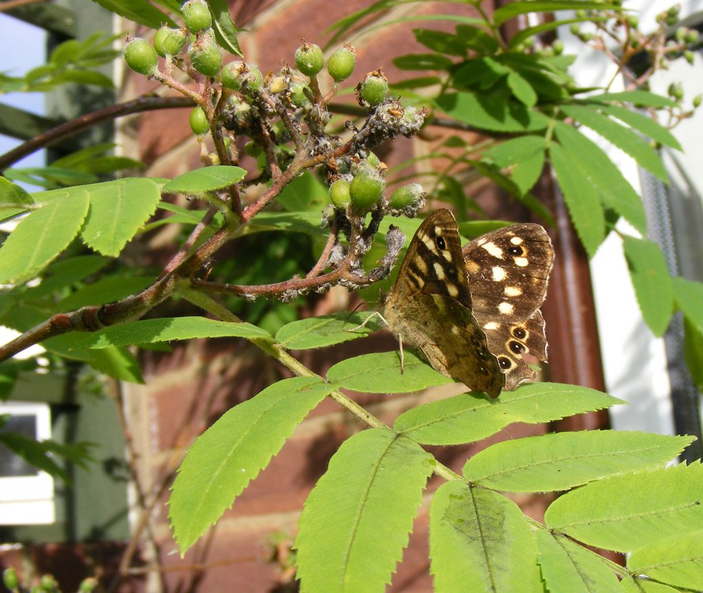 19 june 2016 Speckled wood butterfly and aphid honeydew (3)