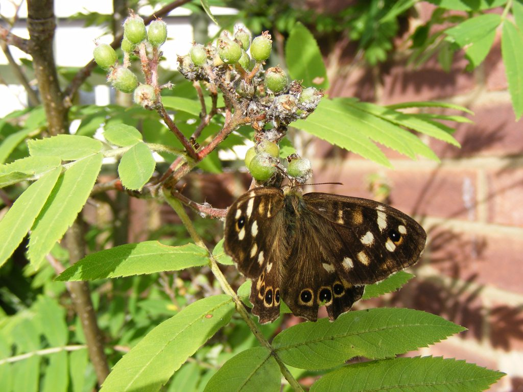19 june 2016 Speckled wood butterfly and aphid honeydew (5)