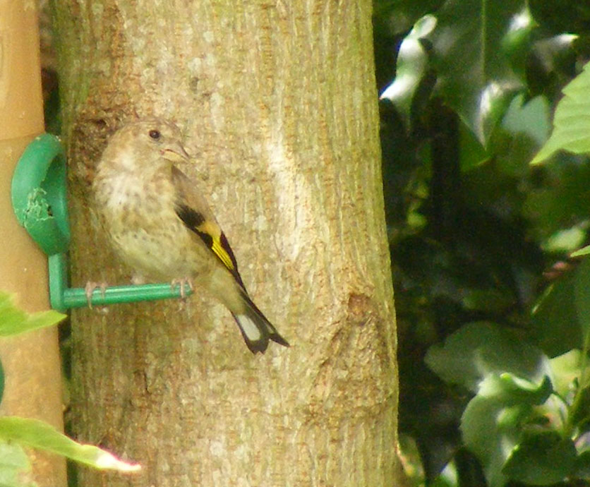 Young goldfinch 6 july 2016 s5700 006