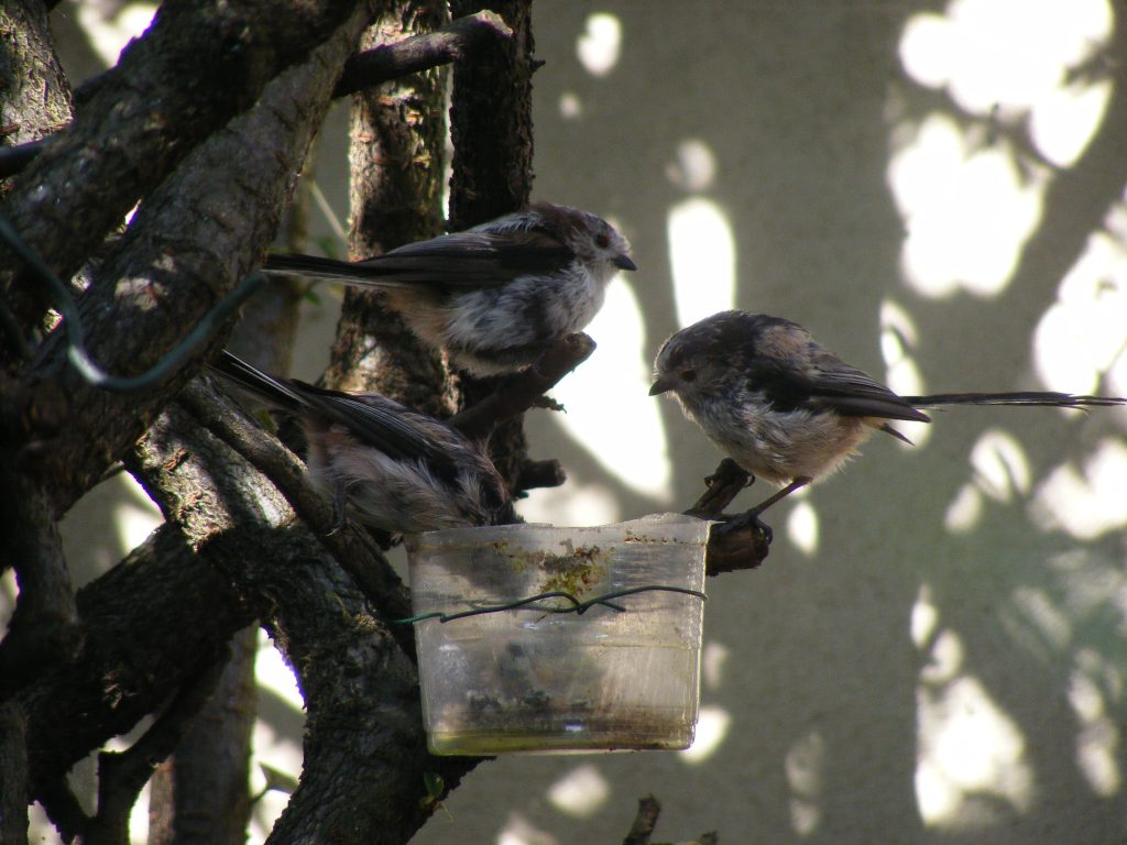 Long tailed tits 17 july 2016 s5700 025