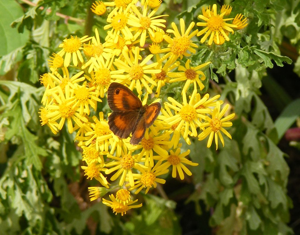 Gatekeeper on ragwort 26 july 2016 s5700 051