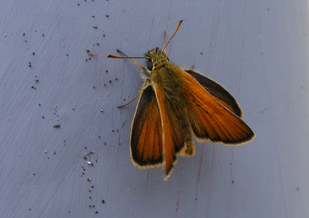 Small skipper 9 July 2016 s5700 (11)