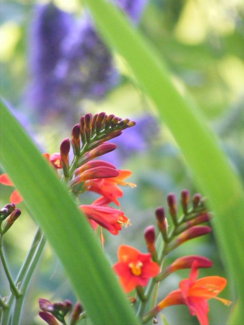 Crocosmia 26 july 2016 s5700 029