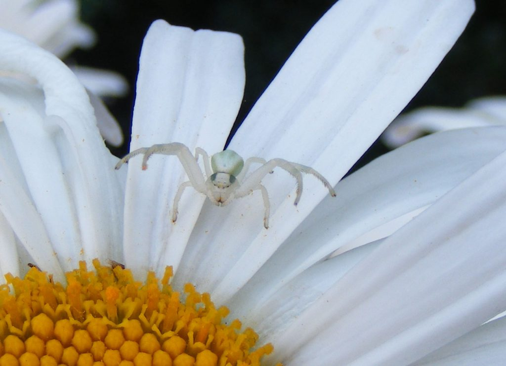 White crab spider 26 july 2016 s5700 024