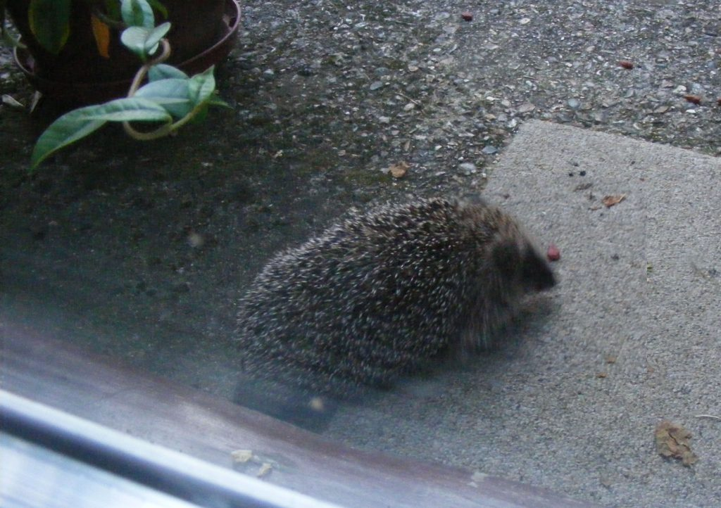 hedgehog-22-august-2016