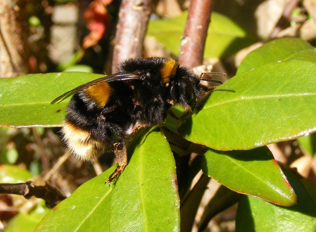 buff-tailed-bumblebee-2-november-2016-009