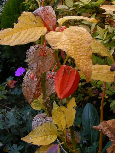physalis-1-nov