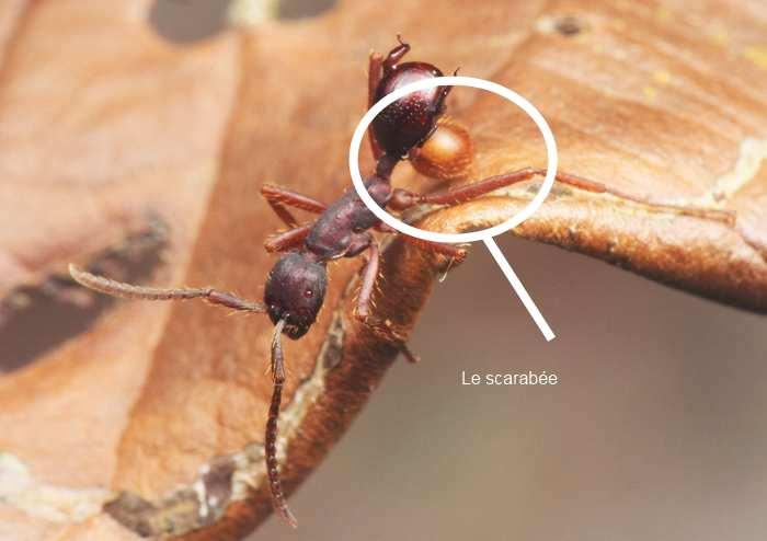 La fourmi et le scarabée Nymphister kronaueri qui s'est accroché à son abdomen - Crédit : M. Maruyama