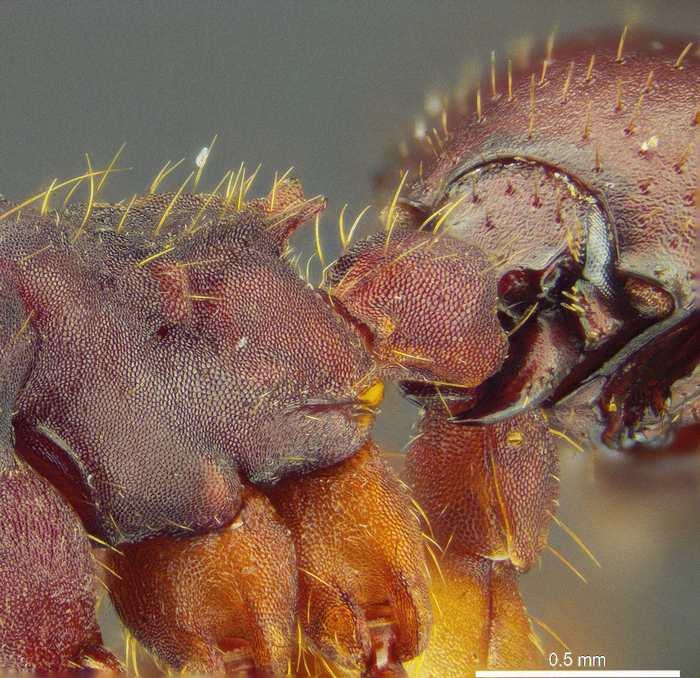 Un zoom sur le scarabée Nymphister kronaueri qui est accroché à la fourmi