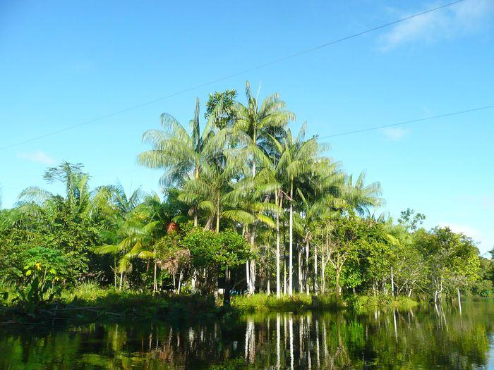 Euterpe precatoria, un espèce d'arbre domestiquée prédominante qui est cultivé dans les villages riverains dans le Rio Madeira et qui est utilisé comme source de nourriture - Crédit : Carolina Levis