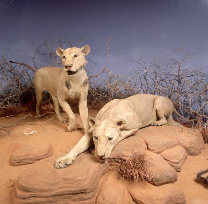 Une représentation des lions du Tsavo au Field Museum - Crédit : The Field Museum