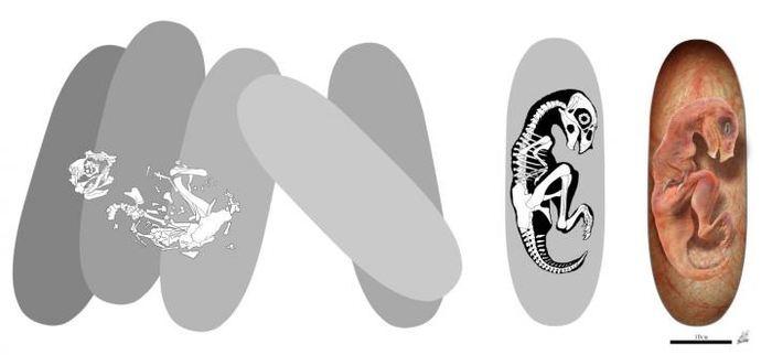 La reconstruction des oeufs et de l'embryon du Beibeilong sinensis - Crédit : Zhao Chuang