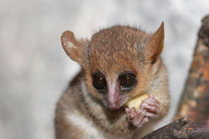 Le Microcebus, un lémurien qui est le plus petit primate du monde, possède le potentiel de transformer le domaine de la génétique et de servir de modèle idéal pour une de nombreux domaines de la biologie, du comportement et de la médecine en incluant les maladies cardiovasculaires et la maladie d'Alzheimer.