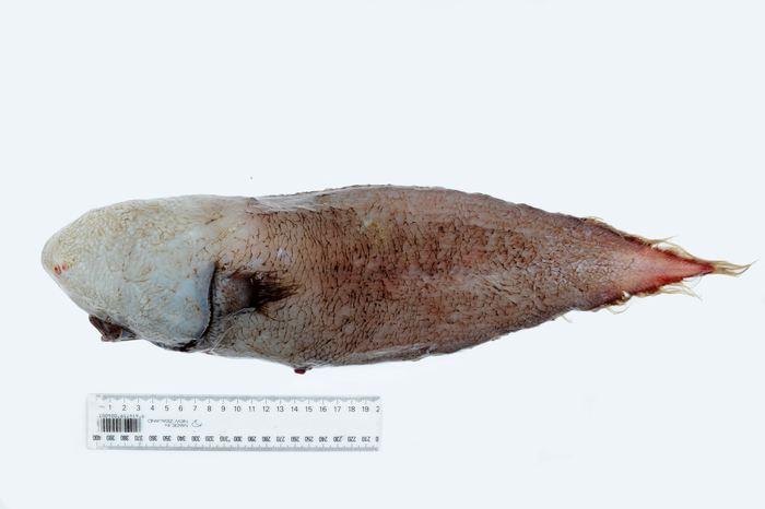 Le Typhlonus nasus, un brosme qui a la particularité d'être sans visage - Bray, D.J. 2017, Typhlonus nasus in Fishes of Australia, accessed 17 Jun 2017, http://fishesofaustralia.net.au/home/species/5354