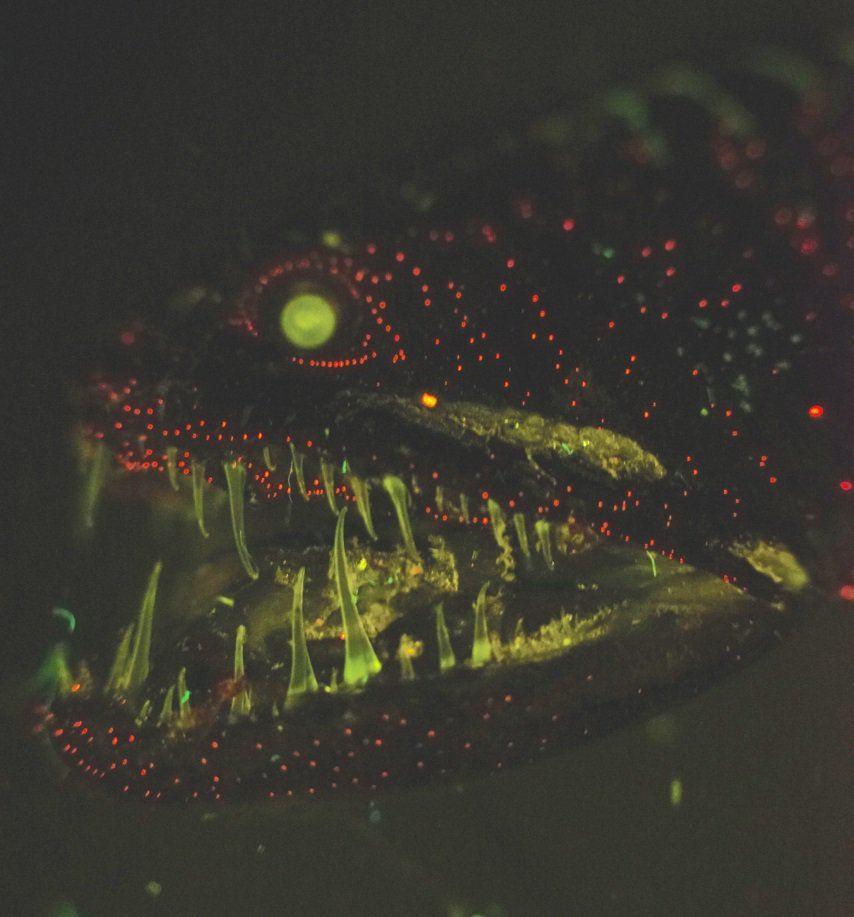 Le même poisson-vipère que le dessus, mais avec la bioluminescence à l'oeuvre - Crédit : J.Mellefet