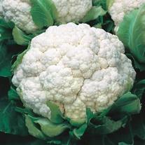 Cauliflower Walcheren Winter 3-Armado April Seeds