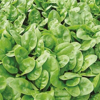 Spinach Emilia F1 Seeds