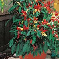 Pepper (Chilli) Super Chilli F1 Seeds