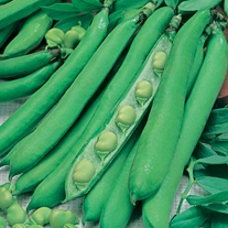 Broad Bean Masterpiece Green Longpod AGM Seeds