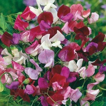 Sweet Pea Old Spice Mixed Seeds