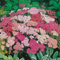 Achillea Summer Berries F2 Seeds