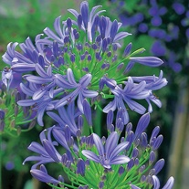 Agapanthus Headbourne Hybrids Seeds