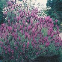Lavendula stoechas-French Lavender Seeds