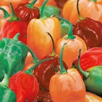 Chilli Pepper Hotscotch Seeds