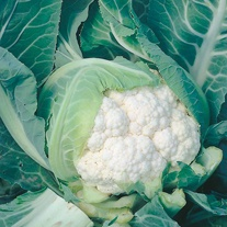 Cauliflower Moby Dick F1 Seeds