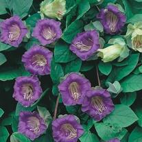 Cobaea scandens Flower Seeds