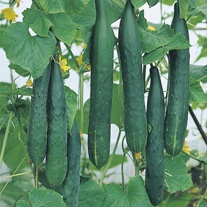 Cucumber Burpless Tasty Green F1 Seeds