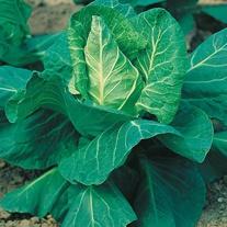 Cabbage Hispi F1 Seeds