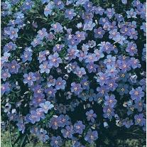 Anagallis Blue Cascade Flower Seed