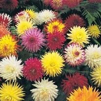 Dahlia Cactus Flowered Flower Seeds
