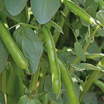 Broad Bean Imperial Green Longpod AGM Seeds