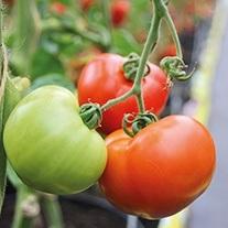 Tomato Ferline F1 Seeds