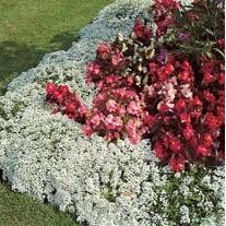 Alyssum Carpet of Snow Flower Seed