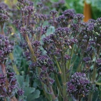 Broccoli Mixed Purple Sprouting Seeds