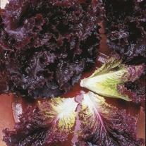 Lettuce Bijou Seeds