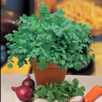 Coriander Cilantro for Leaf