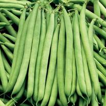 French Bean The Prince AGM (Dwarf) Veg Plants